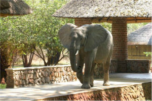 Zambia, Elephants, Mfuwe Lodge