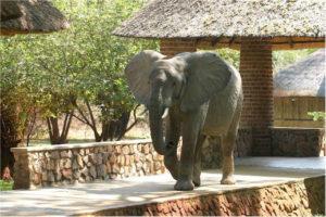 Zambia, Elephants, Mfuwe Lodge
