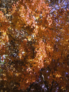 Autumn Leaves Aflame (Photo: C. Canter)