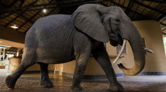 Zambia, Elephants, Mfuew Lodge