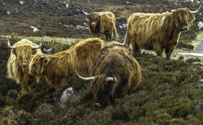 Highland cows grazing roadside, Scottish Highlands
