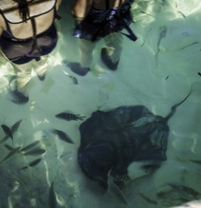Swimming with Bat Rays, Half Moon Cay, Holland America Lines island in the Bahamas