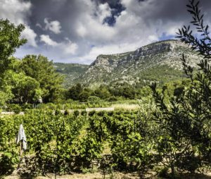 Small vineyard on Brac, Croatia
