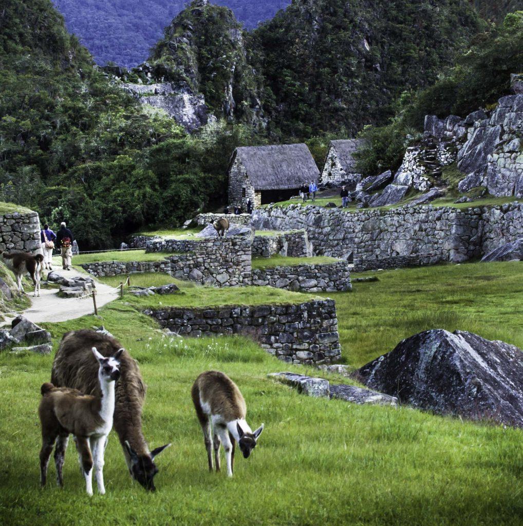 Guanacos of Machu Picchu, Road to Machu Picchu, Cusco region, Peru
