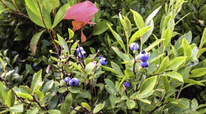 Morse Blueberry Plant, Morse Preserve, Lake Winnipesaukee, New Hampshire, blueberry memories