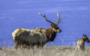 Tule Elk, Point Reyes National Seashore, San Francisco Bay Area, Marin County, Northern California, California
