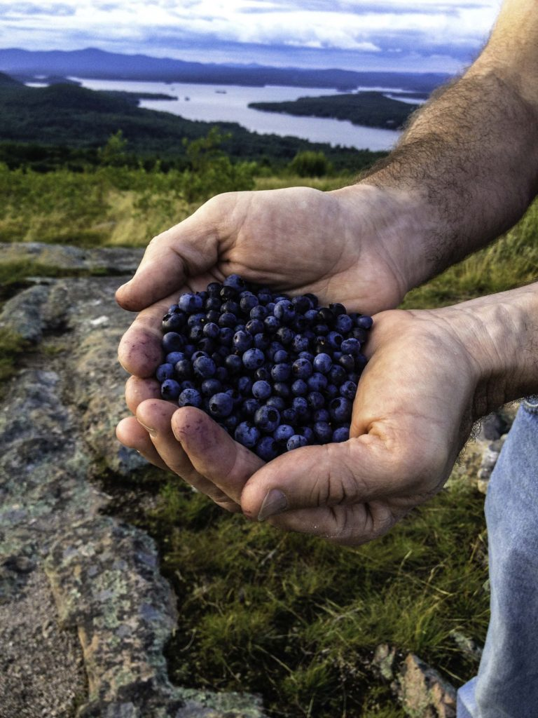 Blueberry Handful, Morse Preserve, Lake Winnipesaukee, New Hampshire