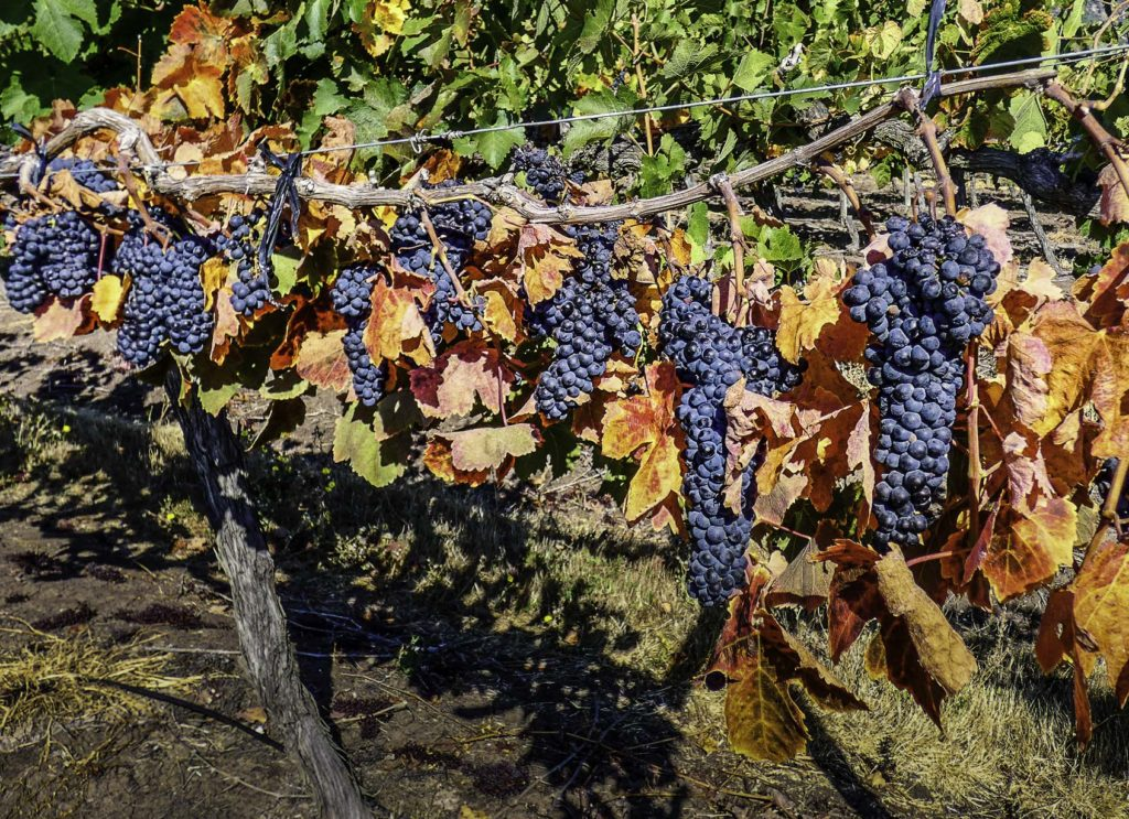 Bike trip across Viña MontGras: Merlot was looking ready to be harvested, Colchagua Valley, Chile