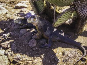 More iguanas camouflaged with cactus, Galapagos Islands, Ecuador