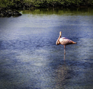 A pink flamingo poses on one stick-like leg in a serene lagoon on Bachas Beach, Galapagos Islands, Ecuador
