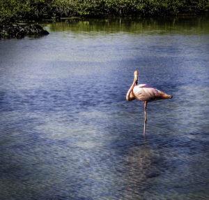 A pink flamingo poses on one stick-like leg in a serene lagoon on Bachas Beach, Galapagos Islands, Ecuador