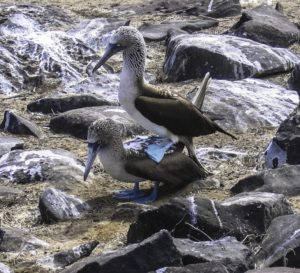 Is this part of the mating dance of the blue-footed boobies?
