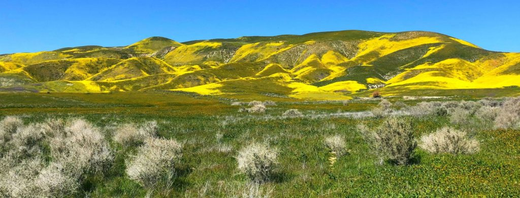 Hillside daises (Monolopia lanceolata) on west facing slopes of the Temblor Range, Carrizo Plain National Monument, California.