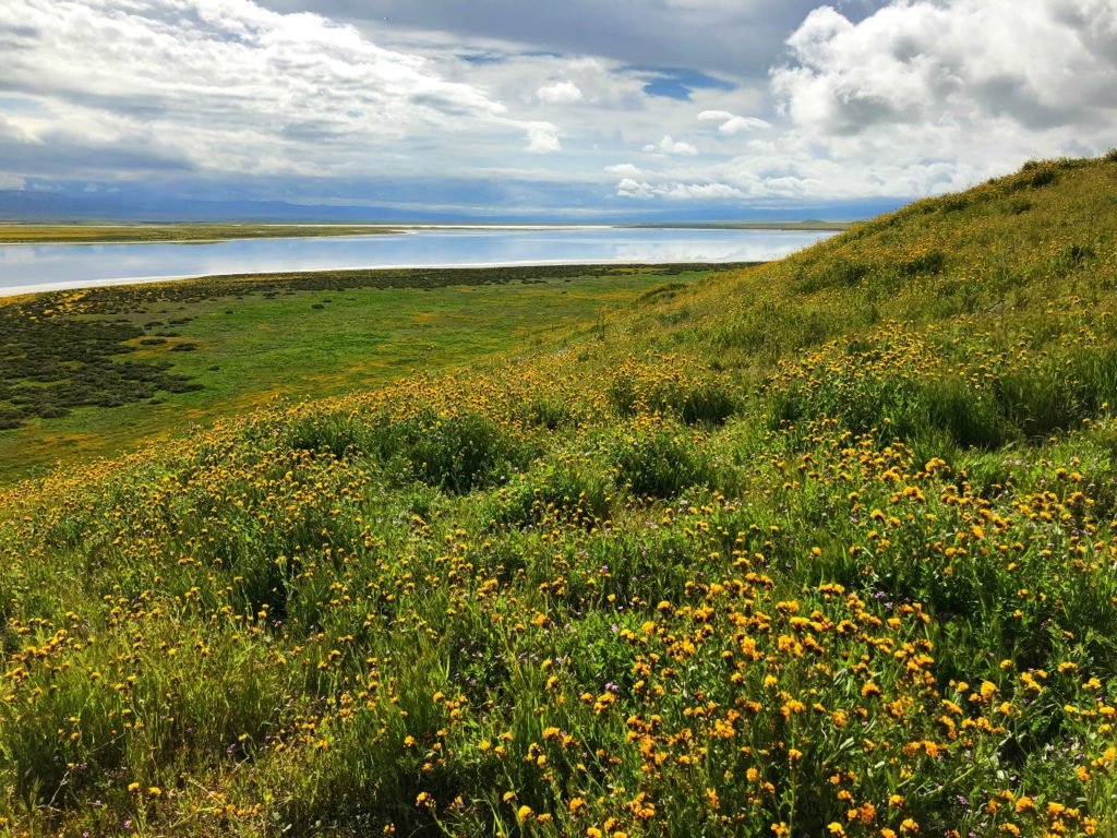 Carrizo Fiddleneck (Amsinckia tessellata var. gloriosa) blooms on Soda Lake Overlook, Carrizo Plain National Monument, California