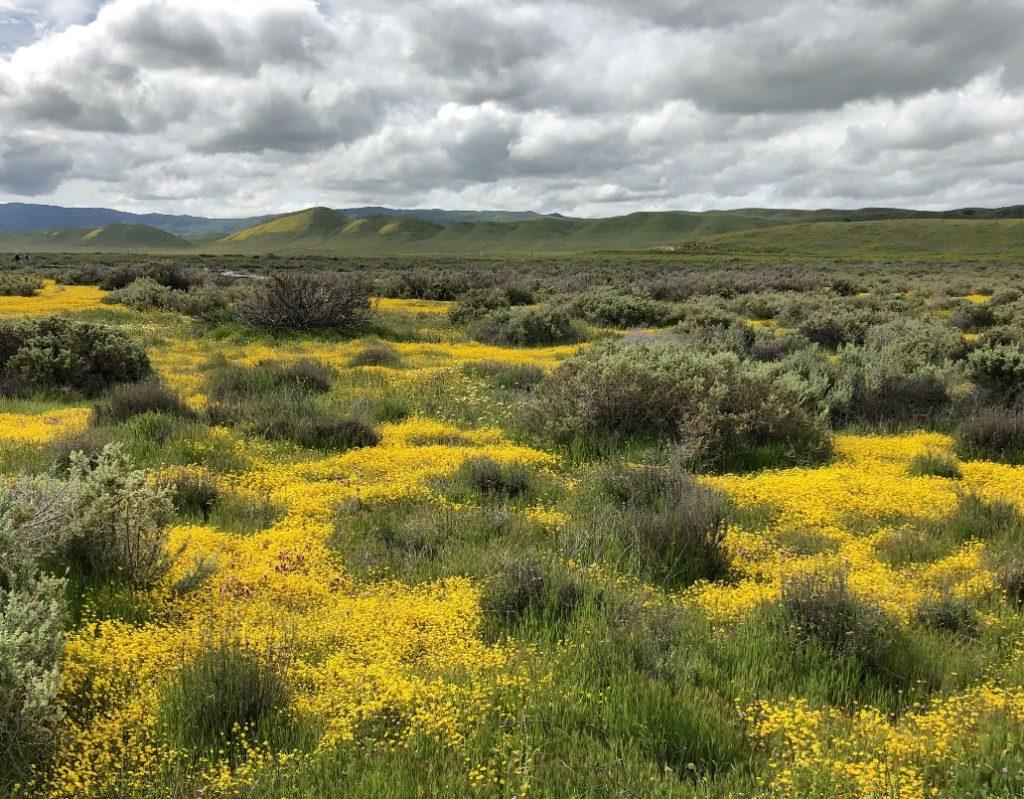 California goldfields (Lasthenia californica) amid spiny saltbush (Atriplex confertifolia), Carrizo Plains National Monument, California