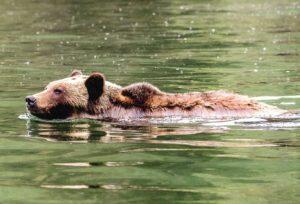 Brown Bear, Admiralty Inlet, Alaska