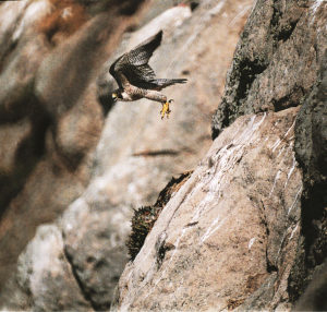 Peregrine Falcon in stoop mode, Moro Bay, California