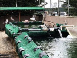 Pacific Wildlife Care center, Moro Bay, California