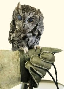 Misty, the blind ambassador Screech Owl, Pacific Wildlife Care center, Moro Bay, California