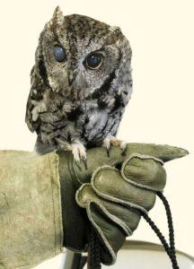 Misty, the blind ambassador Screech Owl, Pacific Wildlife Care center, Moro Bay, California
