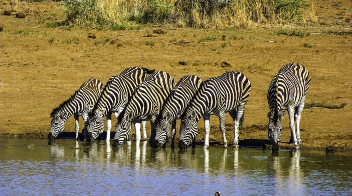 Zebras at a communal pool deep in the Pilanesberg National Park, South Africa
