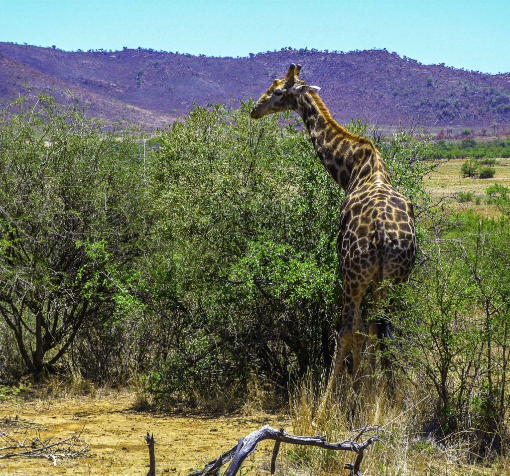 Giraffe in Pilanesberg National Park, South Africa