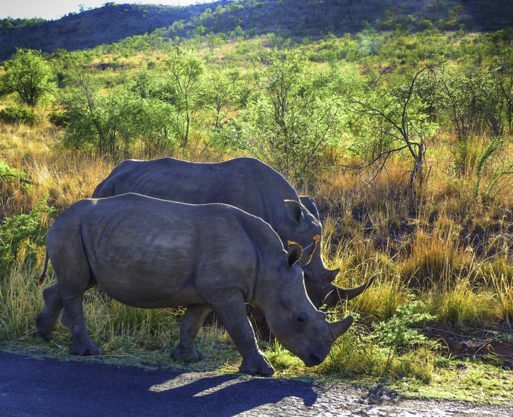 Rhinoceros in Pilanesberg National Park, South Africa