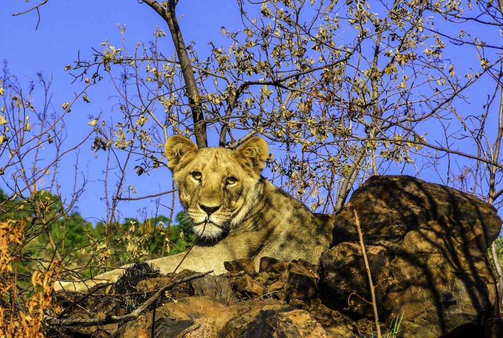 Lioness in Pilanesberg National Park, South Africa