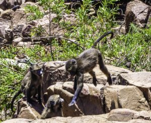 Baboons in Pilanesberg National Park, South Africa