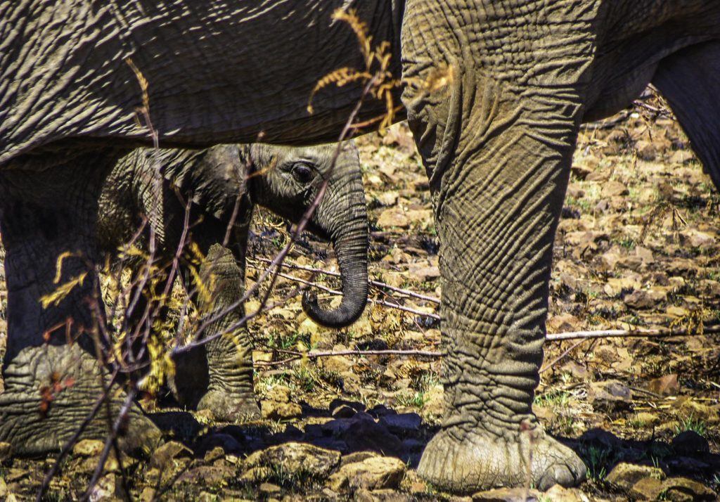 Elephant kid in Pilanesberg National Park, South Africa