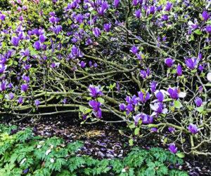 Golden Gate Park, John Mc Laren Rhododendron Dell, San Francisco, California