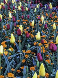 Golden Gate Park, Tulip Garden, San Francisco, California