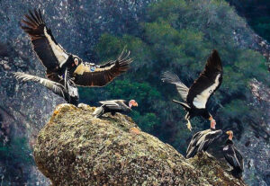 Condors on High Peaks of Pinnacles National Park, California