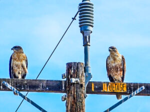 Red-tailed hawks survey their realm, Pinnacles National Park, California