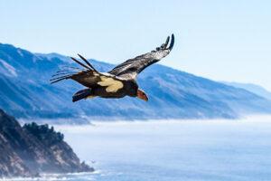 A condor floats over Big Sur, Monterey County, California