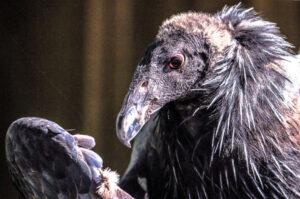Condor at Pinnacles National Park, California