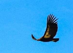 "Condor ID #589 ""Pinnacles"" , Pinnacles National Park, California"